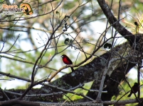 crimson-backed tanager aves manaure cesar