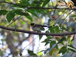 Pinzón montés de alas doradas, Golden-winged Sparrow (Arremon schlegeli), endémico del norte de Colombia y Venezuela. Christmas Bird Count 2018, Perijá. Foto: Jose Luis Ropero.