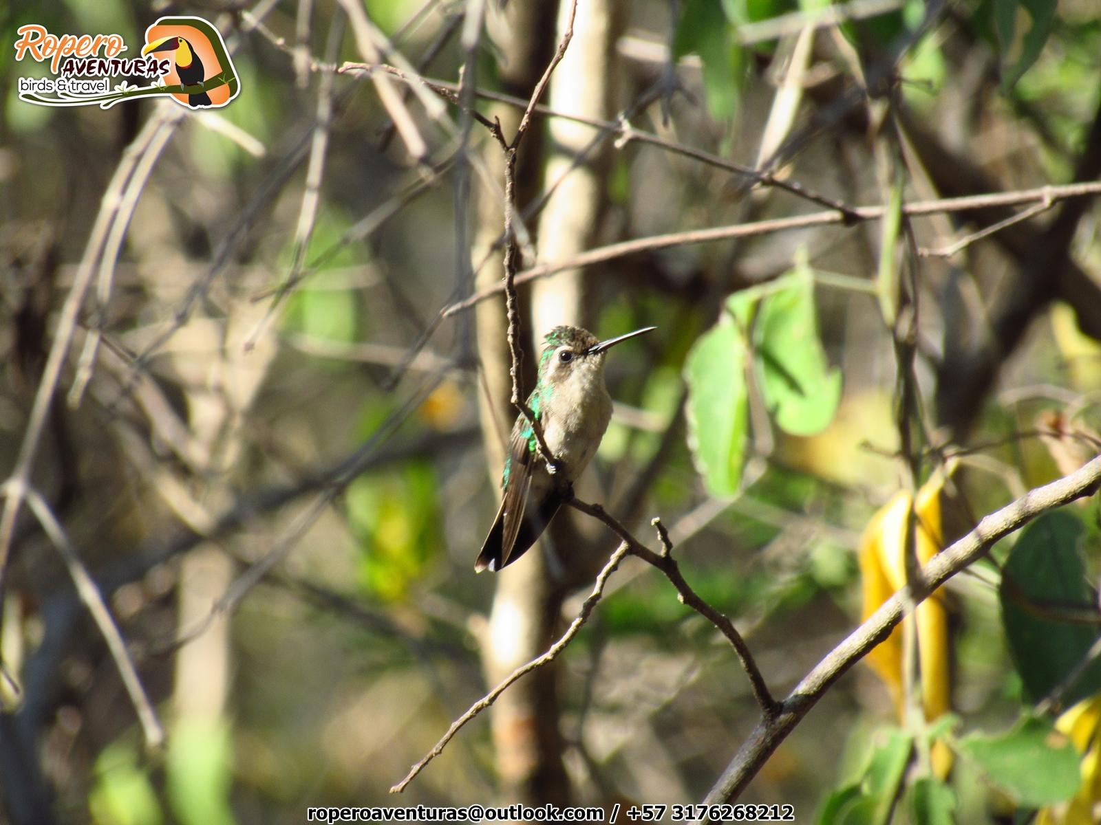 colibri esmeralda en el ecoparque los besotes