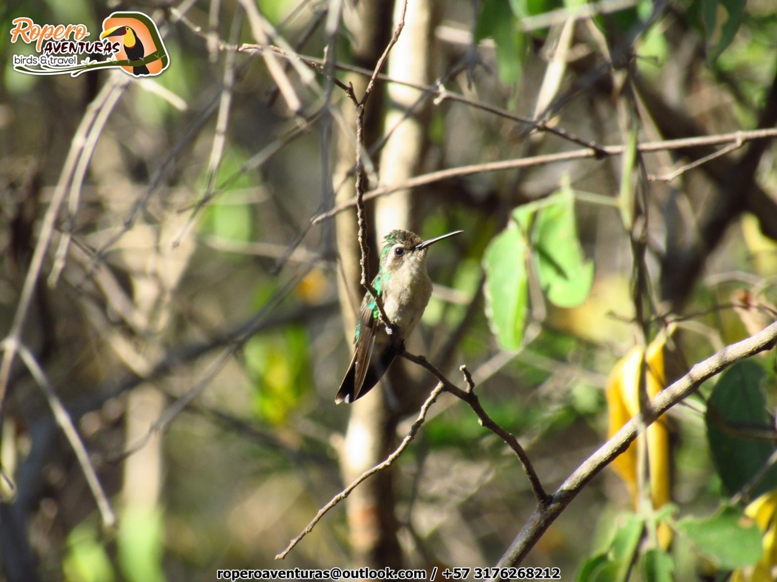 Un colibri hembra posado en la vegetacion