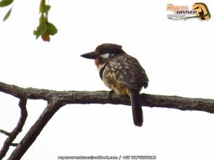 russet-throated puffbird (hypnelus ruficollis) ropero 3