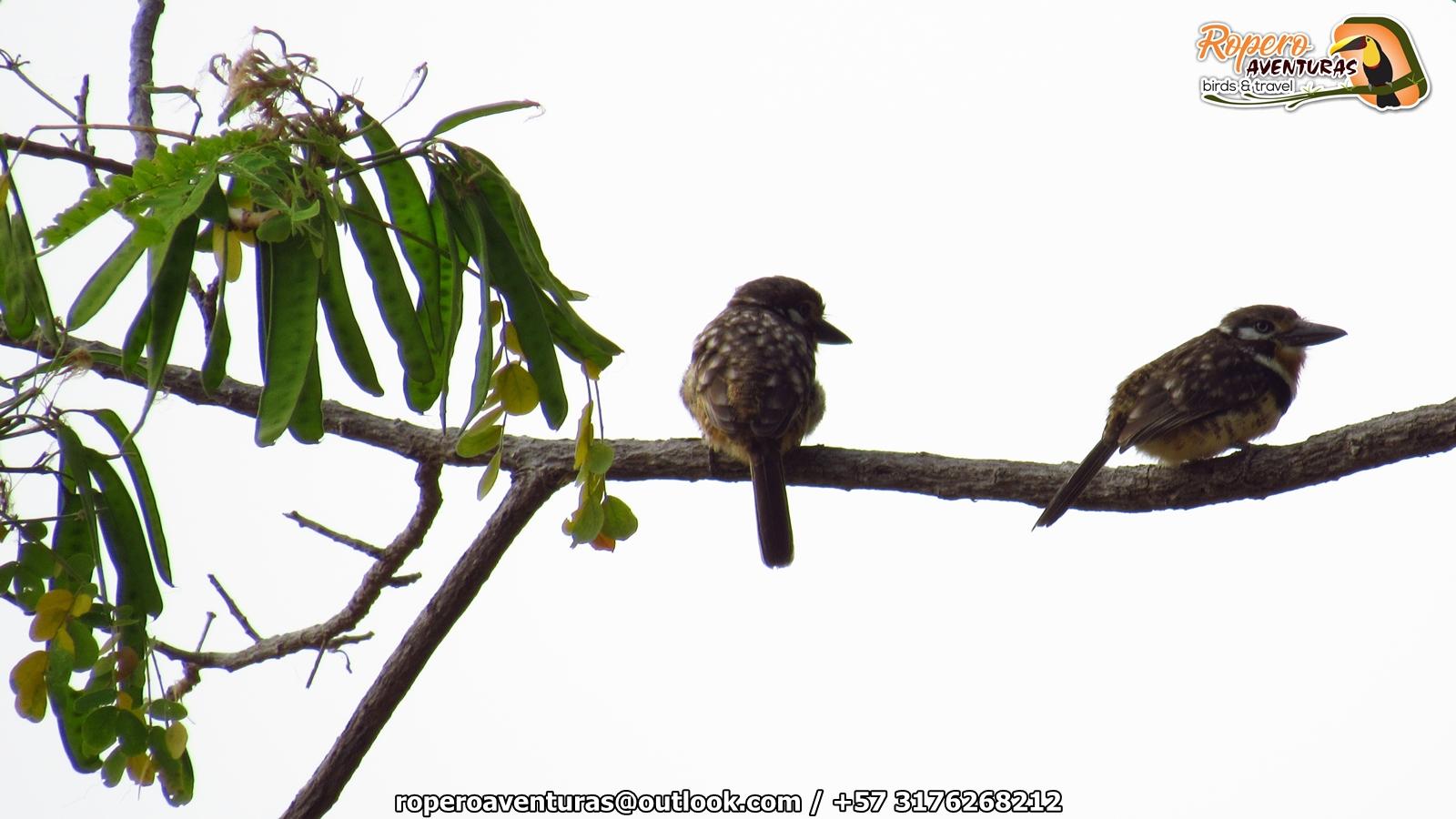 aves buco o bobito sobre una rama