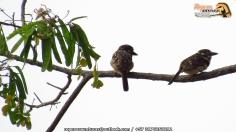 russet-throated puffbird (hypnelus ruficollis) ropero
