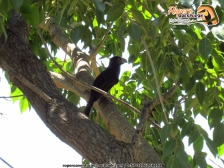 smooth-billed ani aves ecoparque los besotes