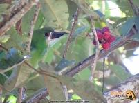 Southern-Emerald Toucanet y moras silvestres, Vereda San Antonio, Manaure Cesar.