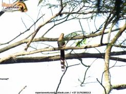 cuco ardilla sobre una rama