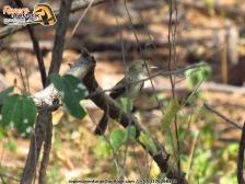 atrapamoscas barullerito leonado en el bosque seco