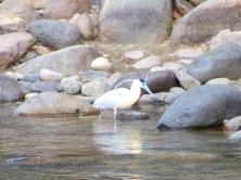 Garza en el rio guatapuri