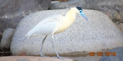 garza pico azul rio guatapuri
