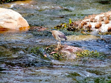 Striated Heron 2 - Miguel Ángel Sierra