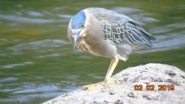 garza estriada en el rio guatapuri