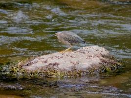 garza estriada caminando en rio guatapuri