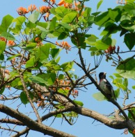Picogordo degollado migratorio en colombia