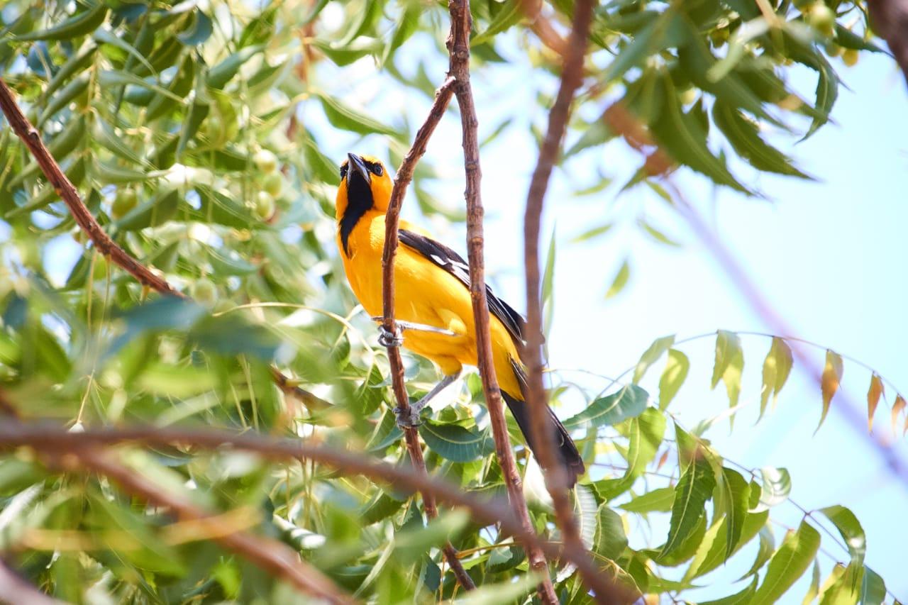 Turpial posado sobre una rama