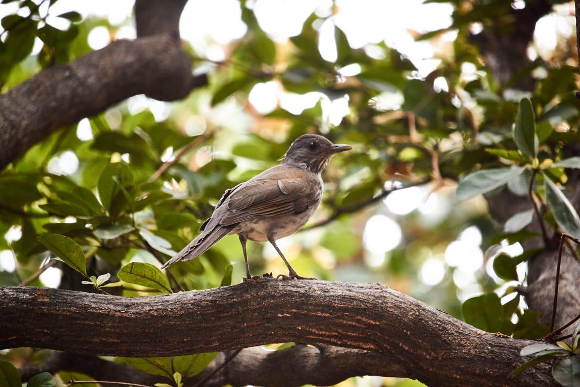 Mirla posada sobre una rama