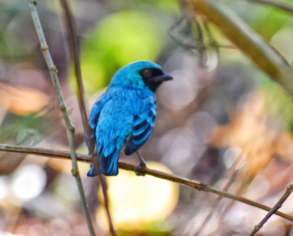 Azulejo golondrina en el bosque