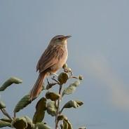 Pájaro canastero