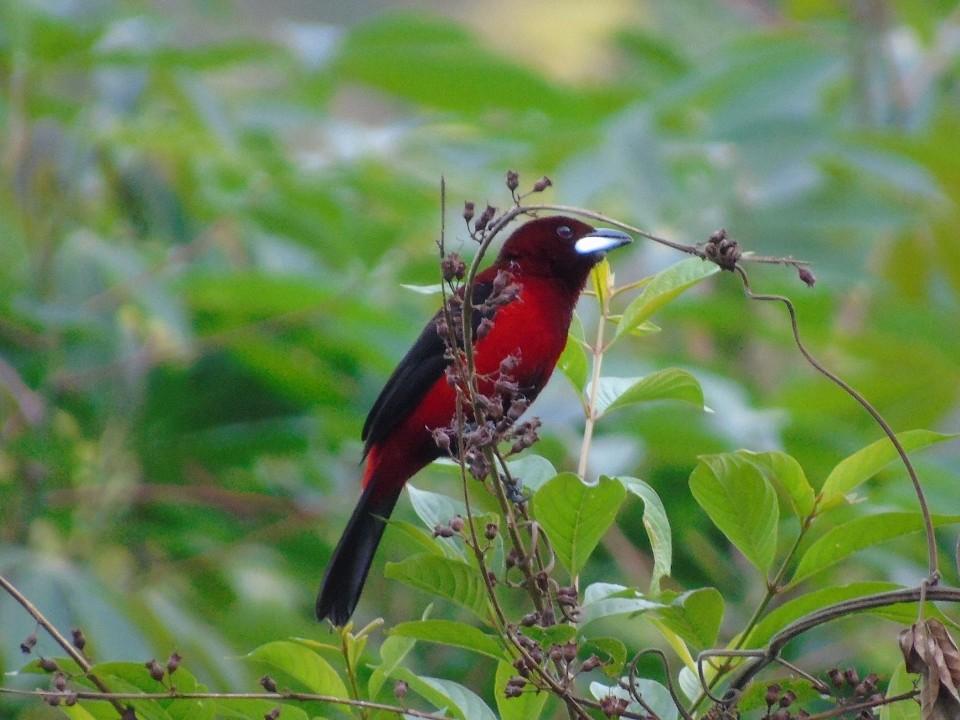 Pájaro sangretoro asoma terciopelo