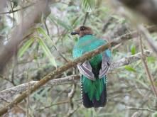 Quetzal crestado Perijá