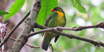 Pájaro Pipreola Aureopectus Golden-breasted Fruiteater