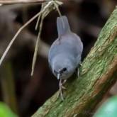 Pájaro tapaculo del perijá