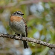 tiranuelo rufous-breasted chat-tyrant
