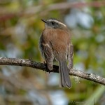 Sonia Mora Rufous-breasted Chat-Tyrant.jpg