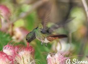 Colibrí amazilia en flores de algarrobillo