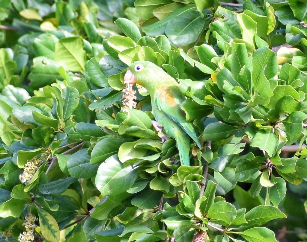Periquito bronceado en olivo negro