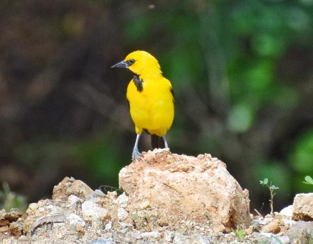 Pájaro gonzalito Icterus nigrogularis