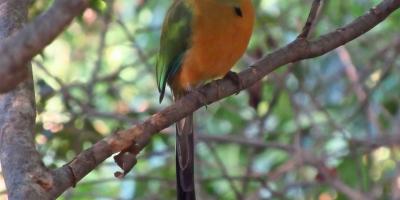 Pájaro Barranquero sobre una rama