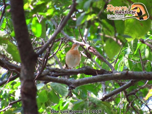 Pájaro albañil Furnarius leucopus