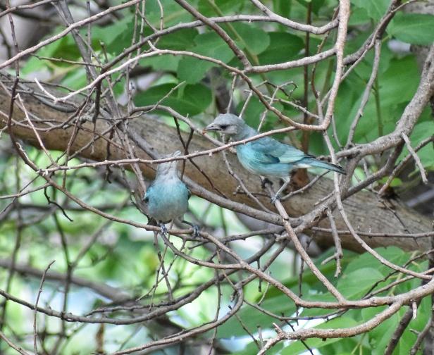 Azulejos glaucos (Thraupis glaucocolpa)