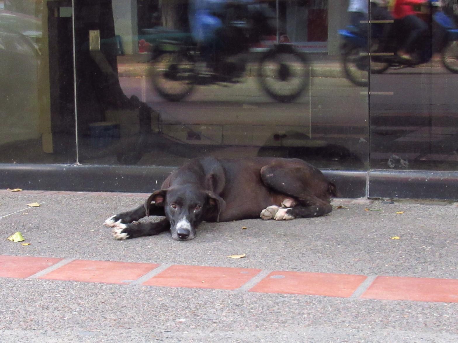 Perro callejero en Valledupar