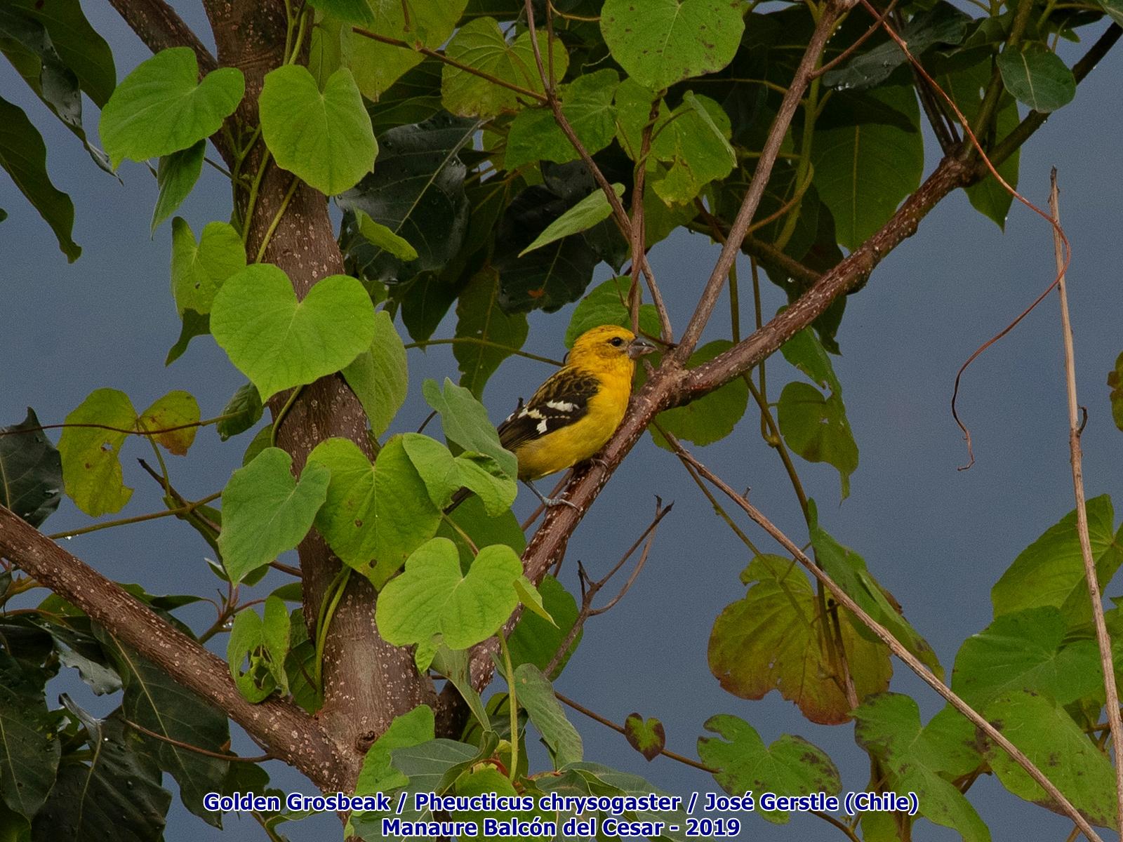 Golden Grosbeak Manaure Cesar