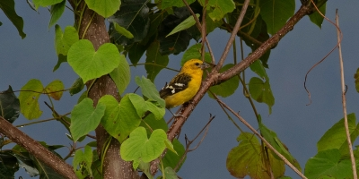 Golden Grosbeak Manaure Cesar