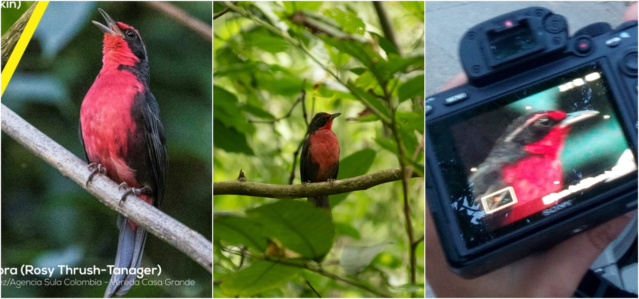 Rosy Thrush-Tanager Rhodinocicla rosea Colombia