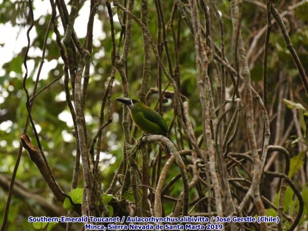 Tucancito Esmeralda (Southern-Emerald Toucanet) Minca Santa Marta