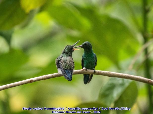 Colibrí amazilia hembra alimentando polluelo