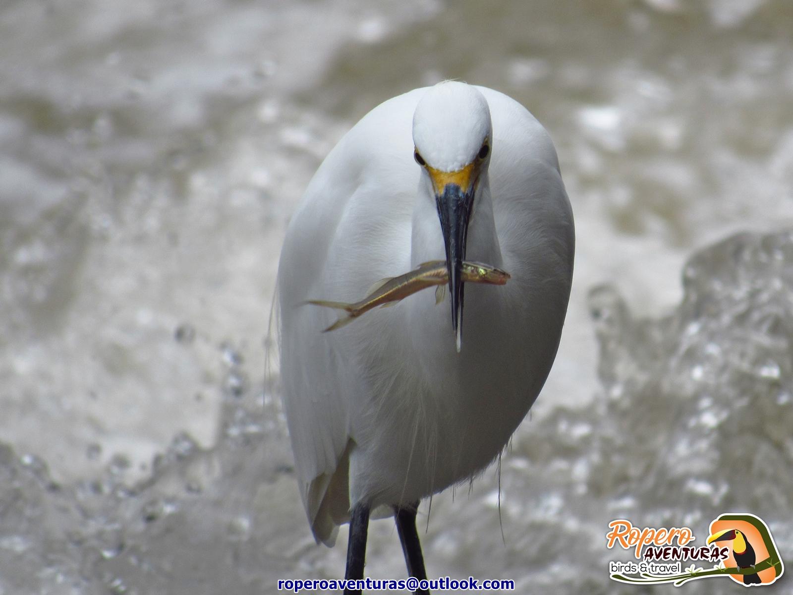 Garcita pescando en el rio