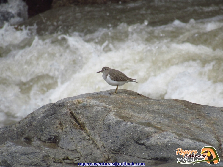 Spotted Sandpiper en Colombia