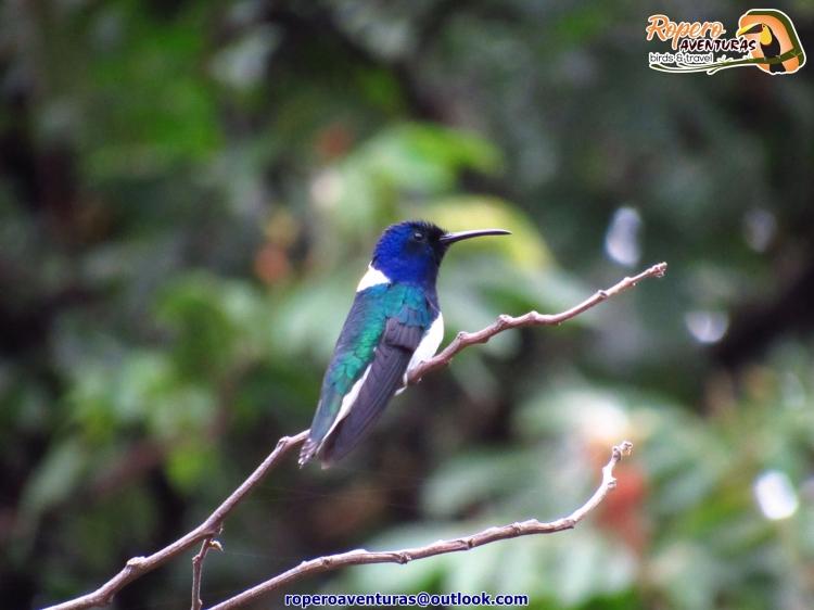 Colibri jacobino posado