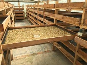 Proceso tecnificado para el secado del café, finca Villa Laura, en Sevilla, Colombia.
