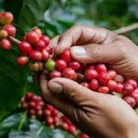 Breve historia del café