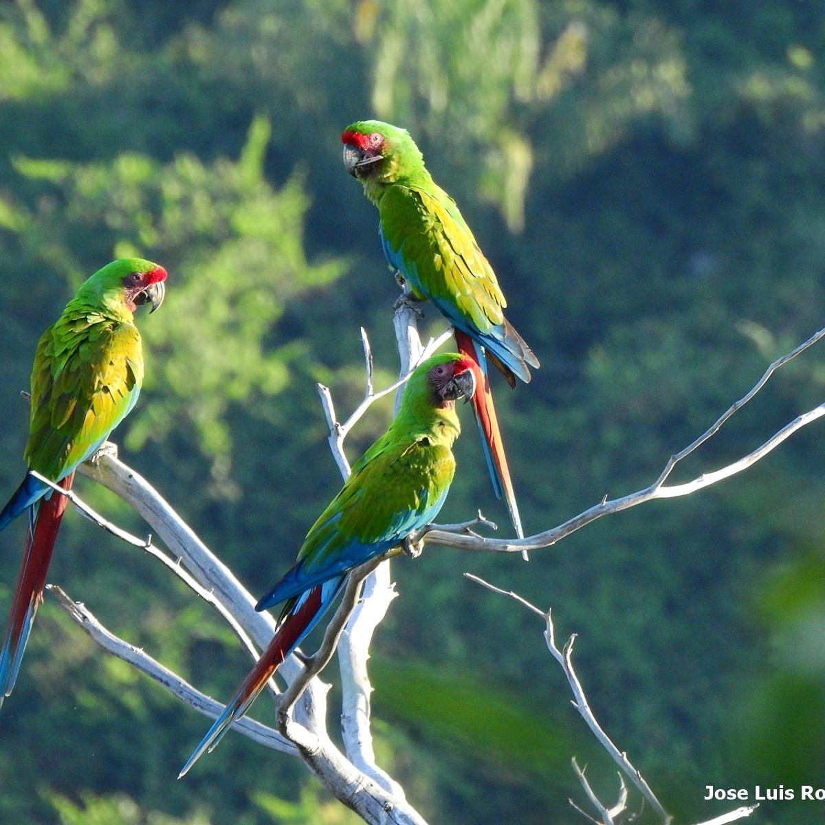 Grupo de tres Guacamayas sobre un tronco seco con bosque al fondo