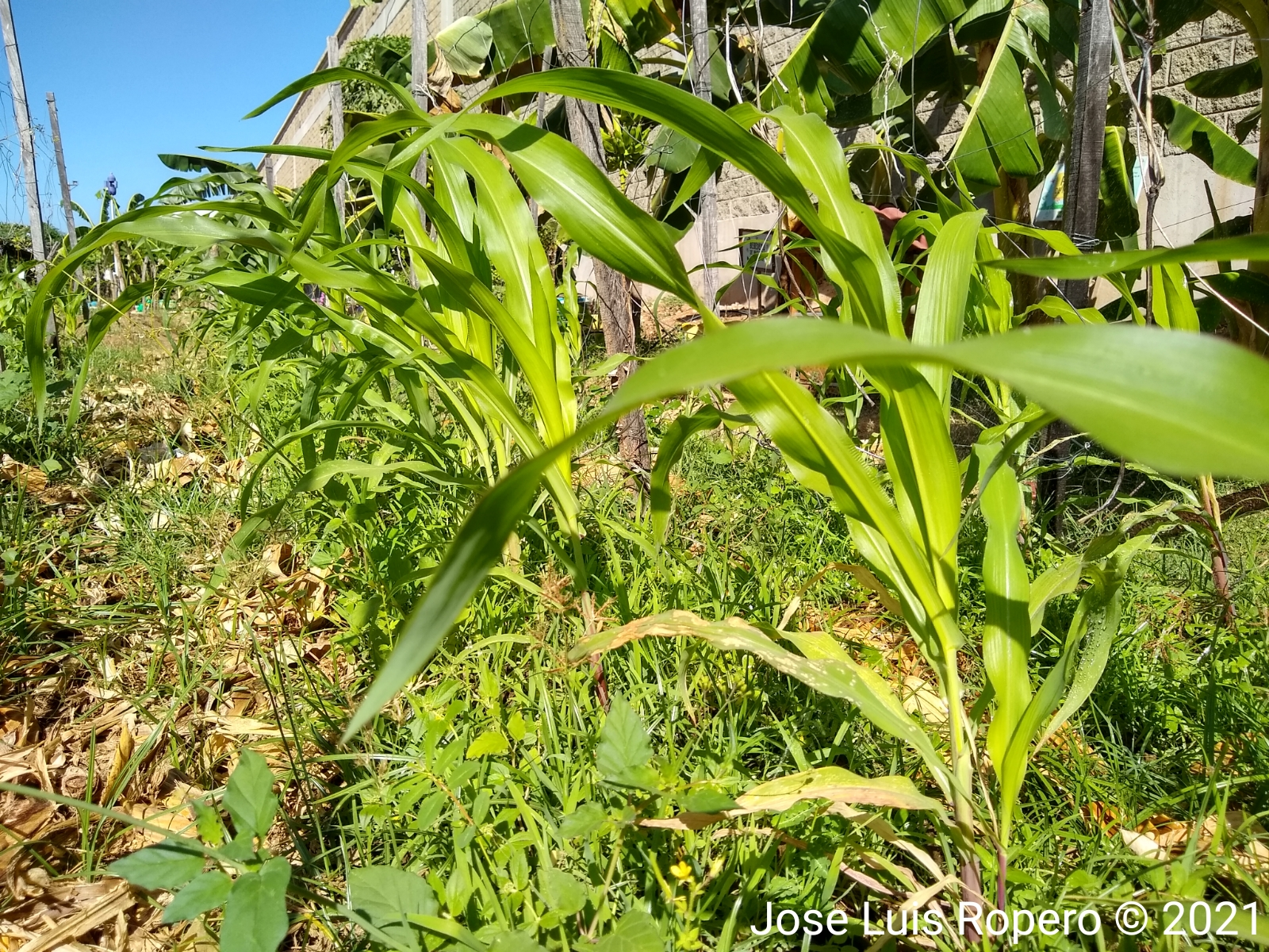 Plantas pequeñas de maiz de colores