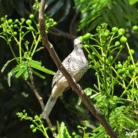 Un instante con la turcutú (Columbina squammata)