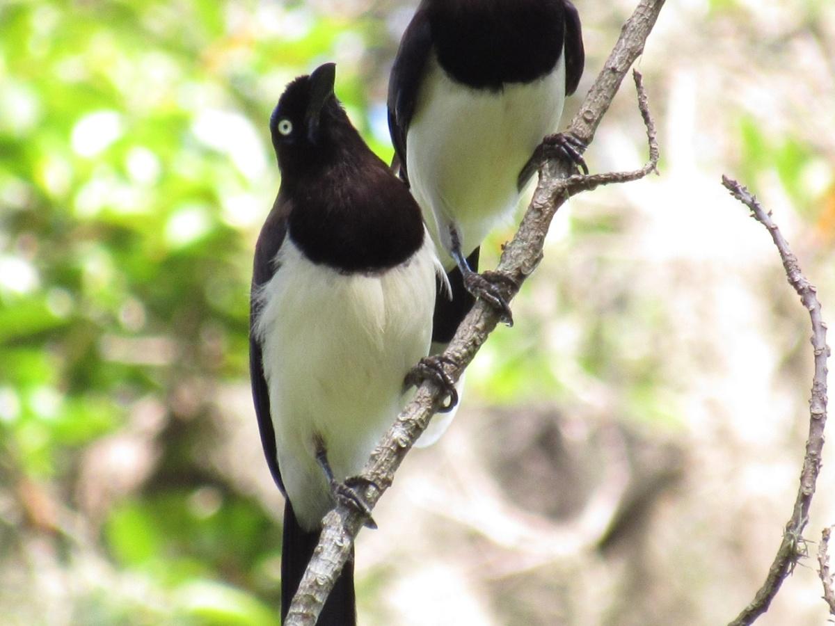 Una pareja de aves de color blanco y negro posadas sobre una rama en un bosque