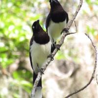 Un instante con el chauchao (Cyanocorax affinis)