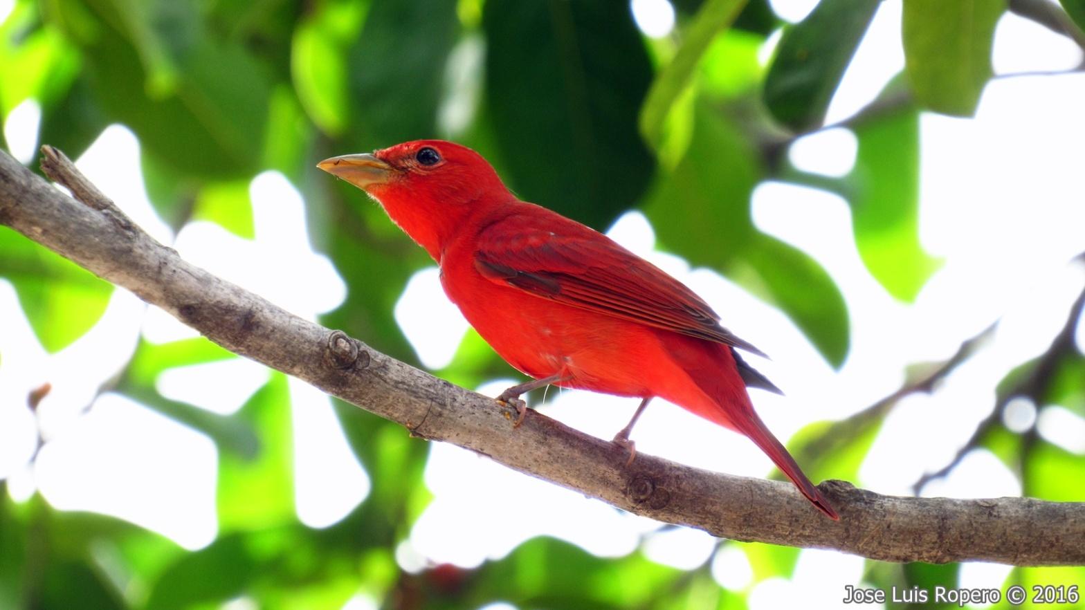 Ave de color rojo posada en una rama